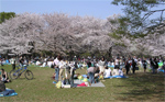 Cherry blossom time in Japan!